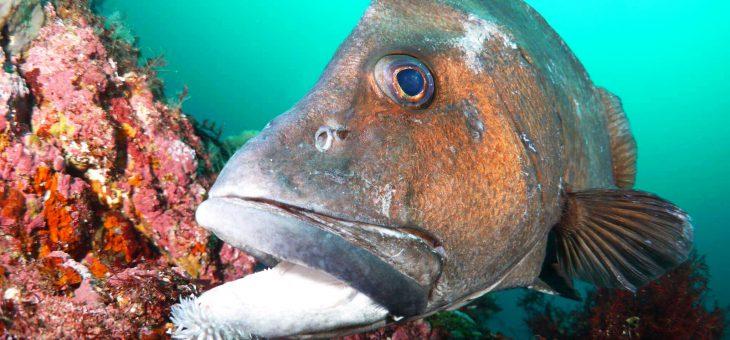 ヒゲダイの老成魚